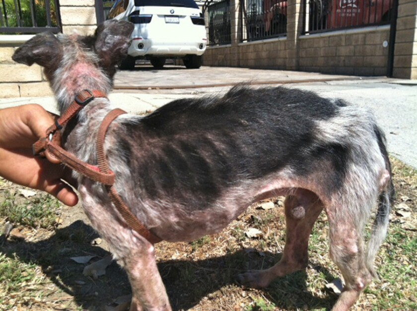 An emaciated dog rescued from a home in Arleta.