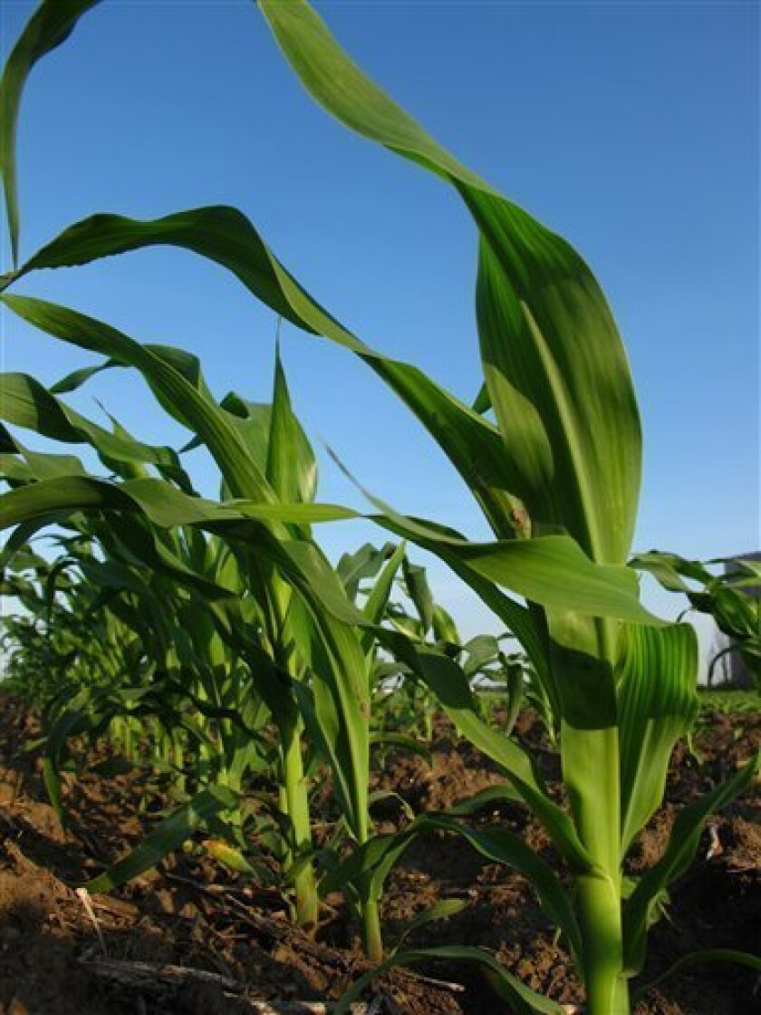 In this photo taken May, 29, 2010 in Savoy, Ill., month-old corn grows in a field. Activists have pushed for years to reduce use of the sweetener high fructose corn syrup, and production for the U.S. market is starting to decline. (AP Photo/David Mercer)