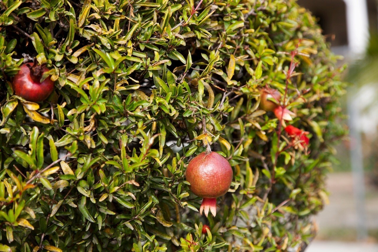In Los Angeles, Tam Thai prunes her pomegranate plants into sculpted bushes where fruits hang like seasonal ornaments.