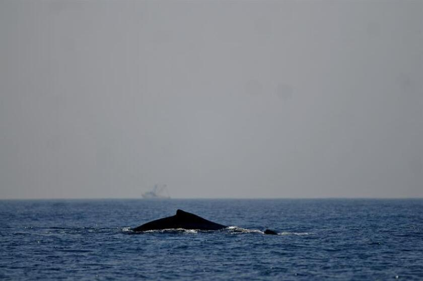 Vista de una ballena Jorobada durante un avistamiento en las aguas del Océano Pacifico en Guatemala. EFE/Archivo