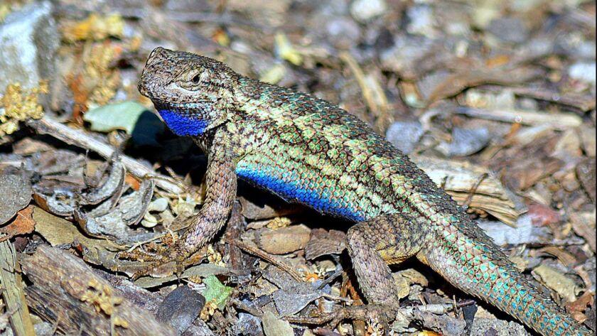 A lizard chills at Descanso Gardens.