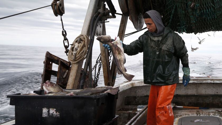Elijah Voge-Meyers fills a crate with cod on a trawler off the coast of Hampton Beach, N.H., on April 23, 2016.