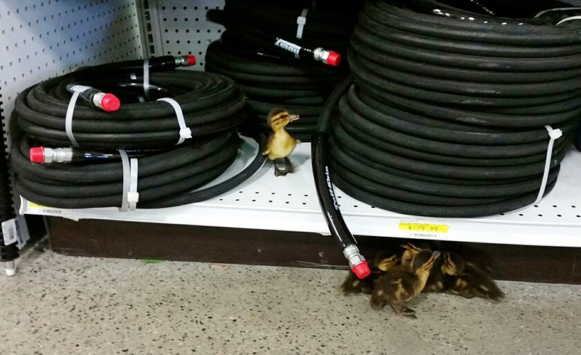 This Wednesday, May 27, 2015, photo provided by Tammy Medeiros shows a group of ducklings that wandered into Alaska Industrial Hardware in Fairbanks. Alaska wildlife officials are deciding what's next for a group of ducklings that wandered into the store. Alaska Industrial Hardware employee Tammy Madeiros says the five tennis-ball-sized birds would have had to waddle across four lanes of traffic Wednesday afternoon to make it inside the store. (Tammy Medeiros via AP)