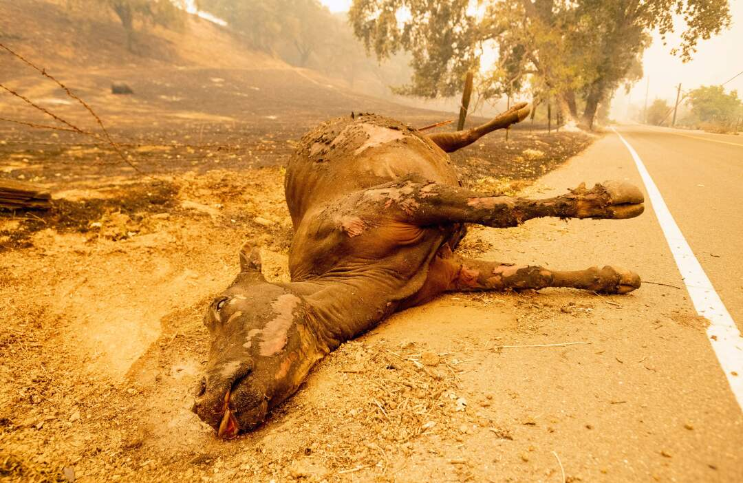 A dead cow in Vacaville, Calif.