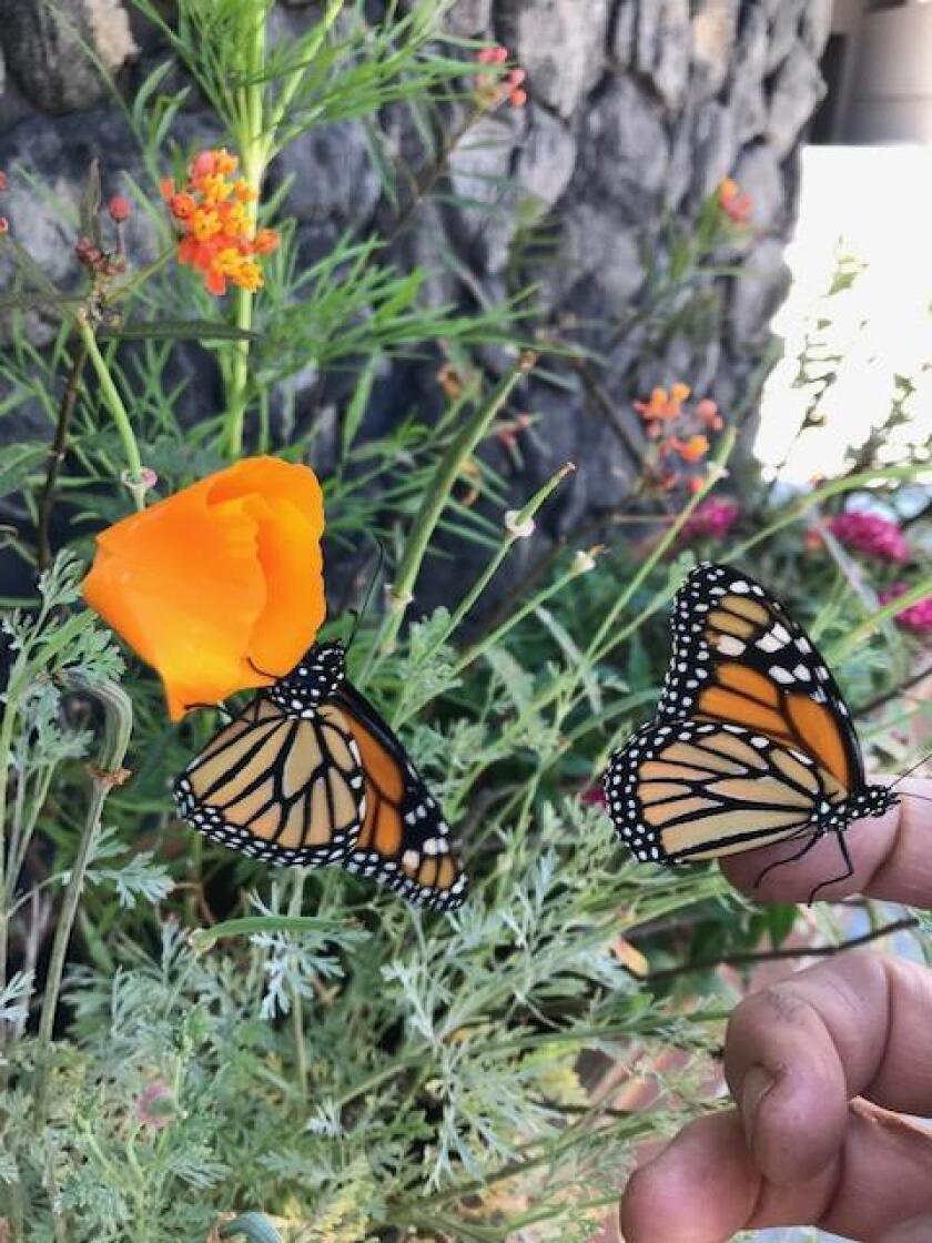 monarchs-20190627