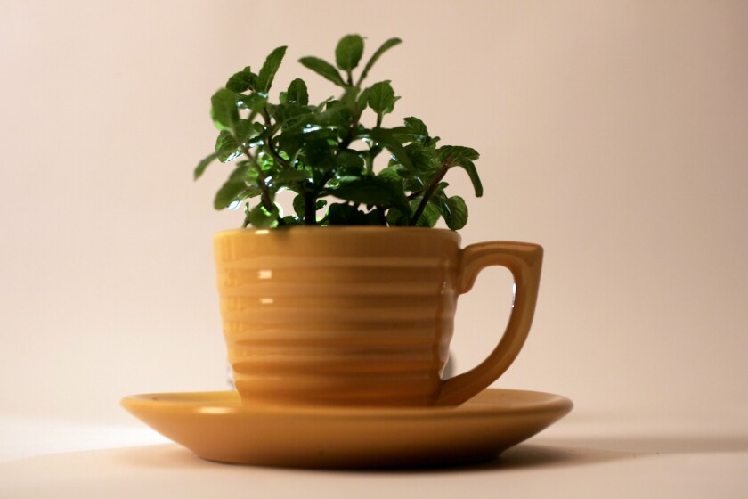 A spearmint plant grows in a vintage yellow Bauer Pottery coffee cup.