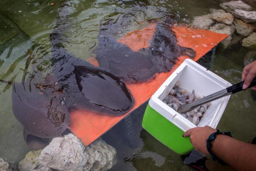 """Una especialista del Miami Seaquarium da de comer a varios tiburones nodriza este jueves, en las instalaciones del hábitat """"Discovery Keys"""", recientemente mejorado, en este centro recreativo de Miami, Florida (EE.UU.). El Miami Seaquarium presentó este jueves una nueva atracción en la que los visitantes pueden interactuar con mantarrayas y tiburones nodriza acompañados de personal especialmente preparado para hacer que la experiencia sea única. EFE/ Giorgio Viera"""