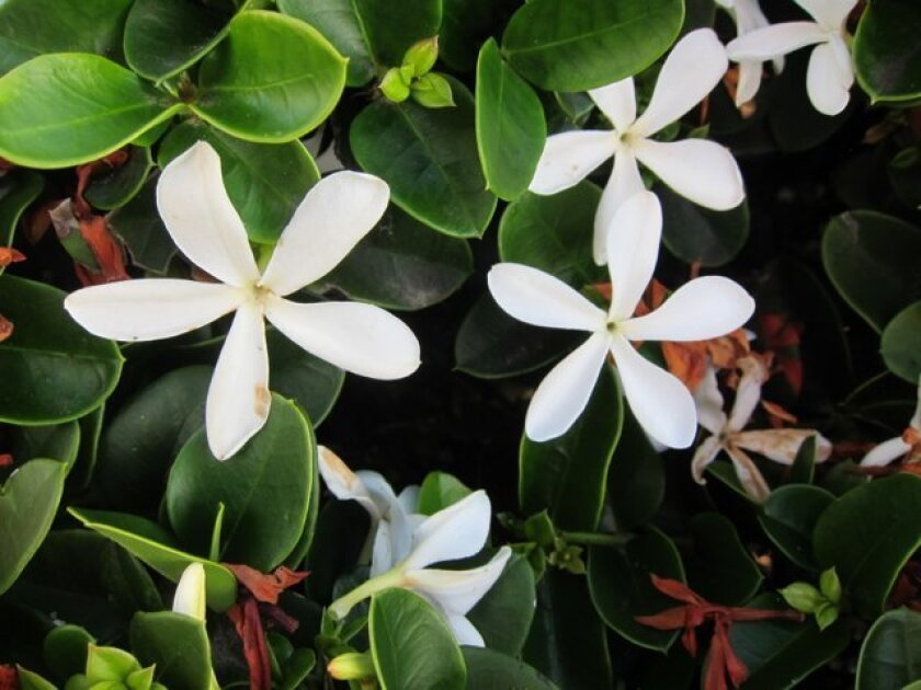 Carissa blooms all year with pretty white flowers that smell of gardenia.