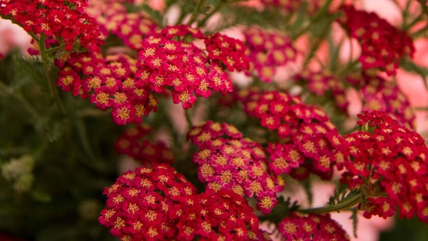 There are new varieties of yarrow with pink, red or terra cotta blooms. Once established, the plants