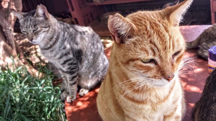 Feral cats in Hawaii