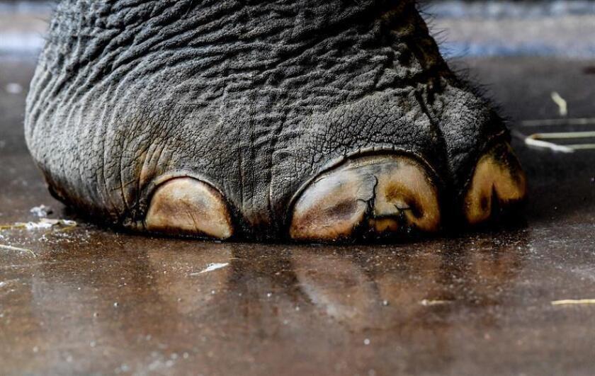 Vista de una de las patas de un elefante. EFE/Archivo
