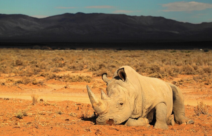 Ending the poaching of rhinos for their horns will take enforcement and efforts to reduce demand. A record 1,215 of South Africa's 22,000 rhinos were killed in 2014.