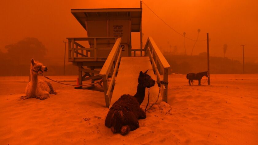 Malibu residents who evacuated their homes because of the Woolsey fire brought their animals, such as these llamas tied to a lifeguard stand on the beach.