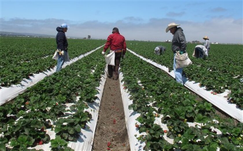 In this photo from Tuesday, May 10, 2011, farm workers weed strawberry rows on a field outside Salinas, Calif. The strawberry field fumigant methyl iodide is being pulled from the U.S. market by its Tokyo manufacturer. Arysta LifeScience Inc. confirmed in a news release late Tuesday, March 20, 2012