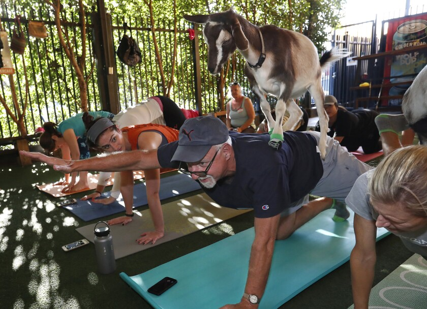 LOS ANGELES, CA-SEPTEMBER 12, 2018: Burlap, a Nigerian dwarf goat, balances on the back of Los Angel