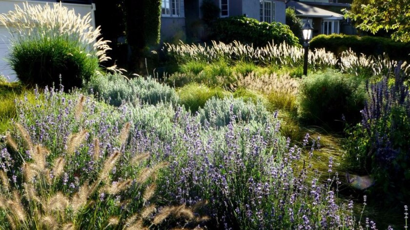 Sedges, salvia and lavender help to create a meadow garden.
