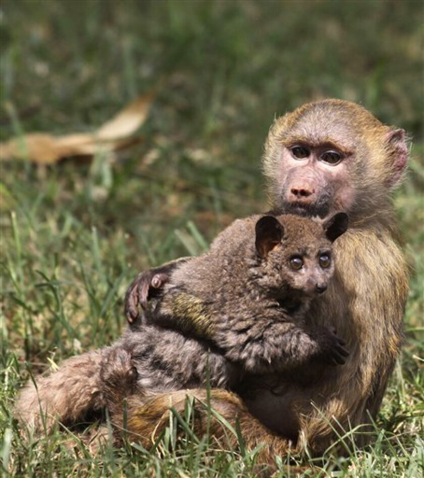 A six-month-old yellow baboon, right, holds a three-month-old bush baby in the animal orphanage at the Kenya Wildlife Service headquarters in Nairobi, Kenya, Friday, June 10, 2011. The six-month-old female yellow baboon abandoned by its family in Maralal in Northen Kenya, is taking care of the three-month-old bush baby, that was also abandoned by its family in central Kenya. (AP Photo/Khalil Senosi)