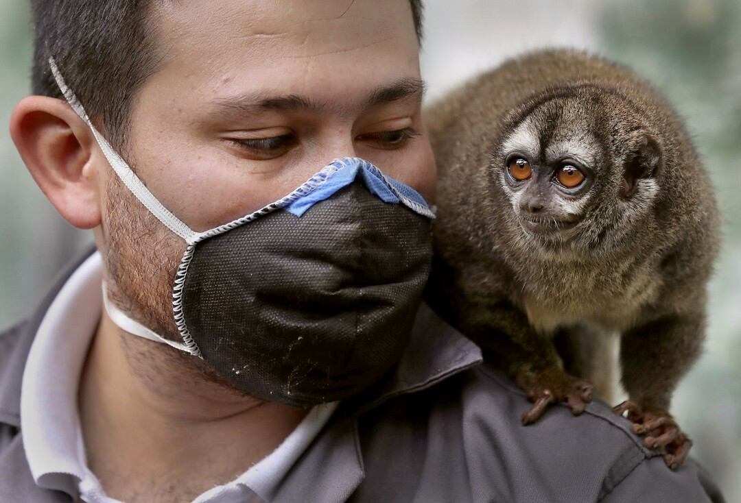 COLOMBIA: A monkey sits on the shoulder of zookeeper Jorge Mogollon on April 21 at the Santacruz Zoo, which is closed amid a lockdown to help contain the coronavirus spread in San Antonio near Bogota, Colombia.