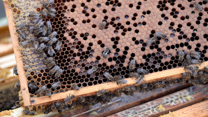 Live bees on a commercial honeycomb.