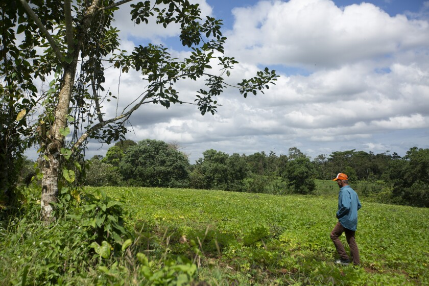In this Feb. 10, 2020 photo, Luis Uriarte walks through his bean field near Upala, northern Costa Rica, where several hundred Nicaraguan refugees, including Uriarte, are carving out an existence with machetes and a firm belief that they could be jailed or killed if they return too soon to their country. (AP Photo/Moises Castillo)