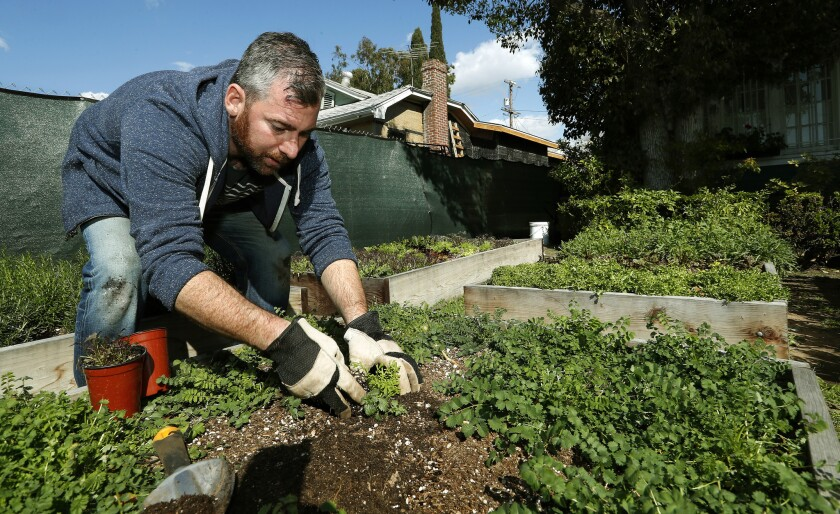 Kevin Meehan plants mustard frills in an urban garden located in the front yard of a home near his restaurant.
