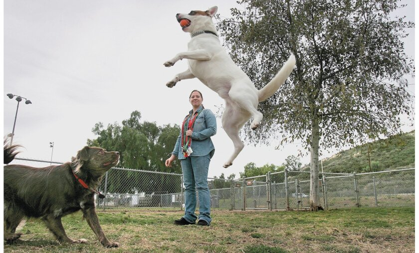 At the Mayflower Dog Park in Escondido, Alex leaps high to fetch a bouncing ball tossed by owner Crystal Pelham of Vista. Pelham's other dog, Terri, opts to watch the action from the ground.