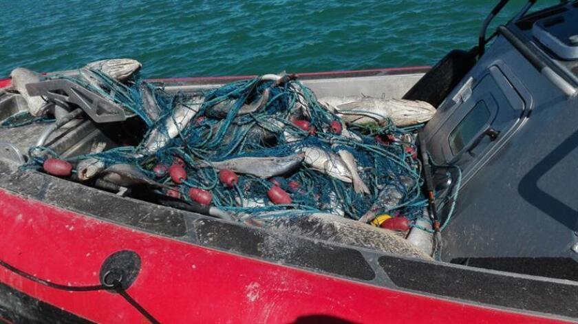 Una nueva tecnología permitirá proteger la biodiversidad en el Alto Golfo de California con un sistema alternativo que sustituiría a la red de enmalle, anunció hoy el Instituto Nacional de Pesca y Acuacultura (Inapesca). EFE/PROFEPA/SOLO USO EDITORIAL