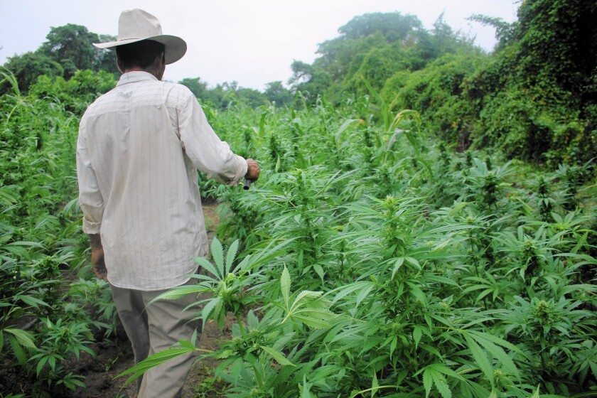 This farmer in western Mexico says he began growing marijuana when he was a teenager. He says this will be his last crop.