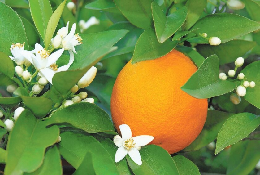 Unlike many other plants, citrus trees like this orange tree don't need much pruning.