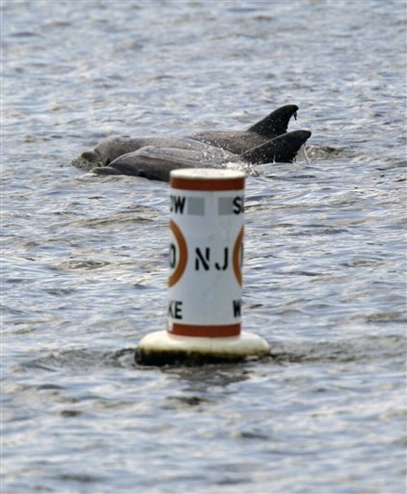 In this July 2, 2008, file photo, dolphins swim near a marker buoy in the Shrewsbury River in Sea Bright, N.J. Temperatures are plunging, but emotions are heating up over whether the last five dolphins who had taken up residence in two New Jersey rivers will be able to survive the winter. (AP Photo