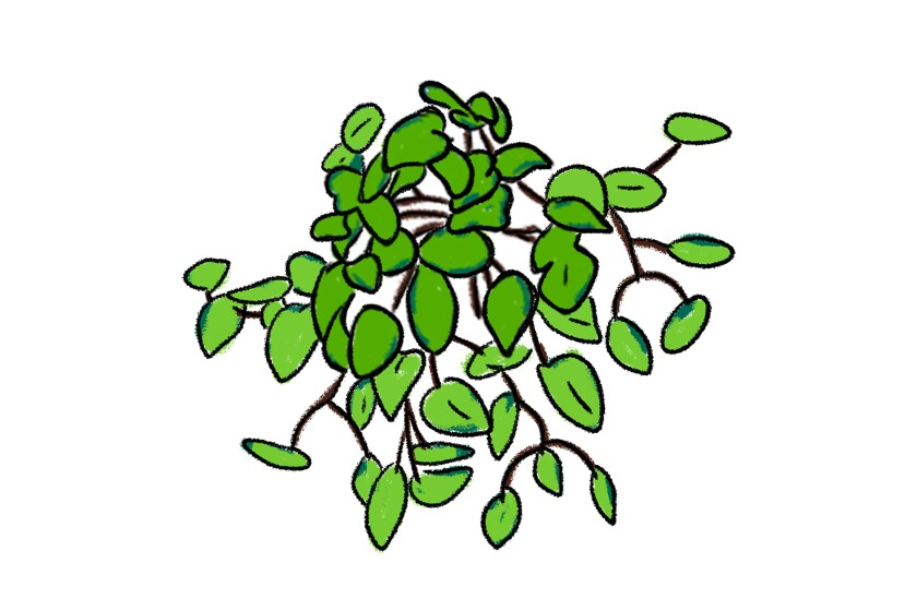 An illustration of a Pothos plant
