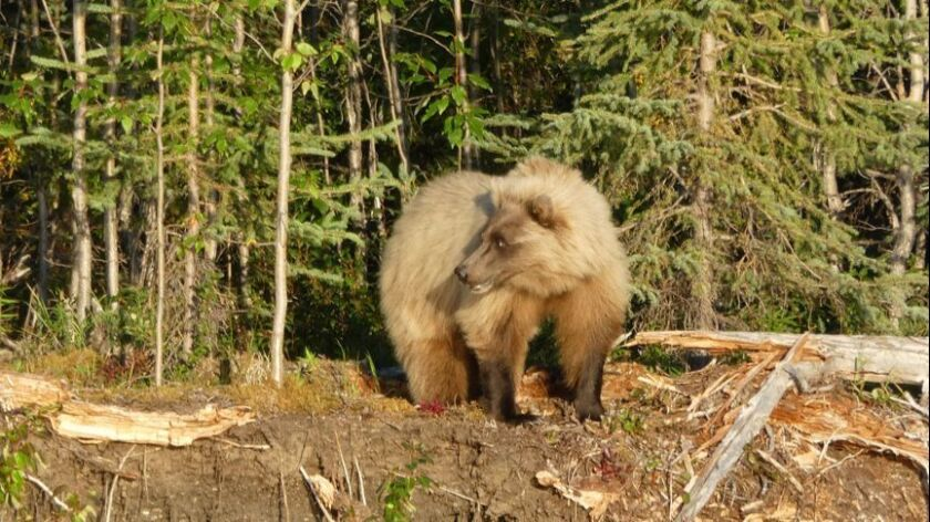 ALASKA-- Grizzly bears are quite common in Alaska's Noatak National Preserve.