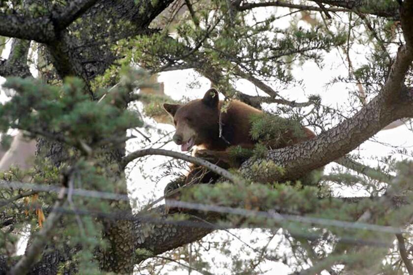 A black bear climbs a tree in Rancho Cucamonga on May 18.