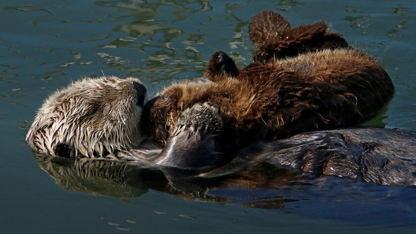 A sea otter with her pup float in Morro Bay.