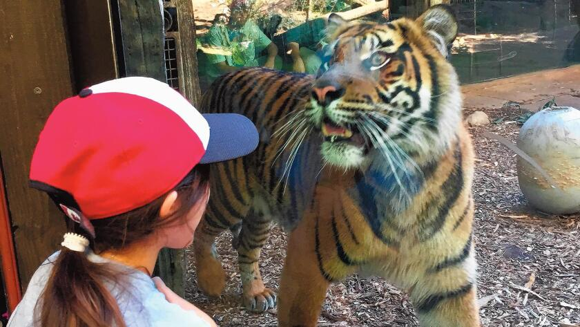 Moth-fearing granddaughter fearlessly stares down tiger at San Diego Safari Park.