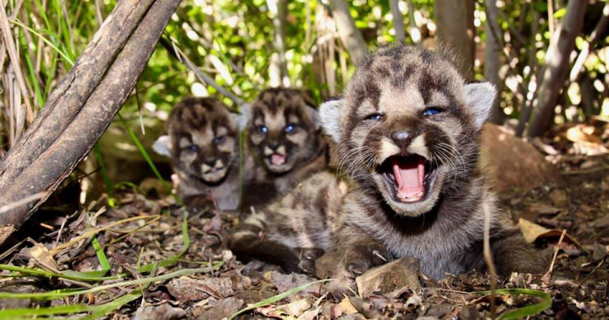 Local mountain lion gives birth to three cute kittens