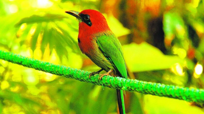 A rufous motmot, one of Costa Rica's most beautiful birds, perches on a tree branch.