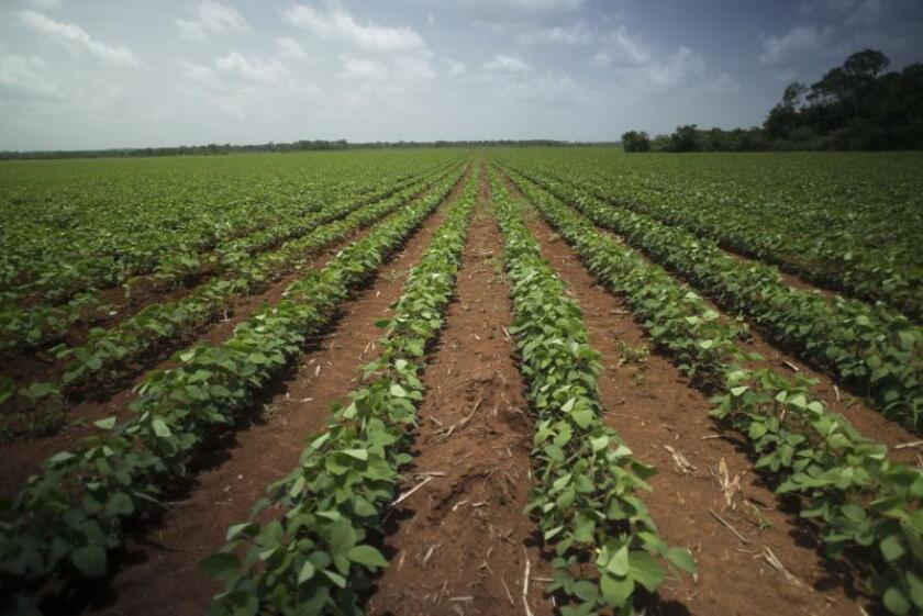 Fotografía fechada el 21 de julio de 2017 que muestra una vista general de un plantío de soya trasgénica en el estado de Yucatán (México). EFE/Robin Canu/Archivo