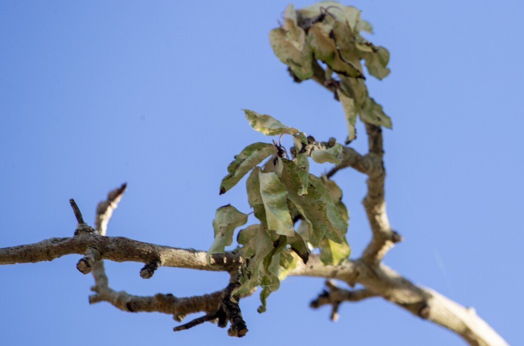 Fire blight, oozing cankers and blackened leaves on the branches of a pear tree, at the Manzanar National Historic Site.