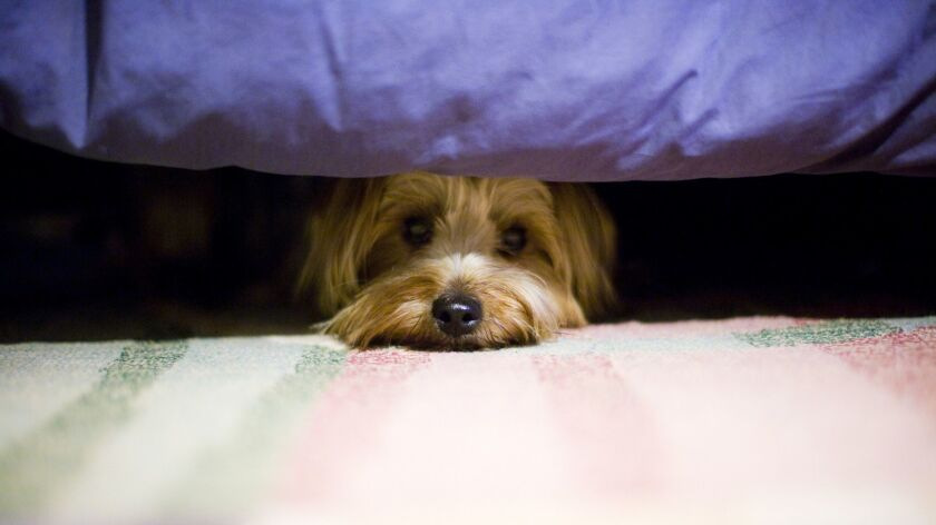 terrier dog hiding under a bed.