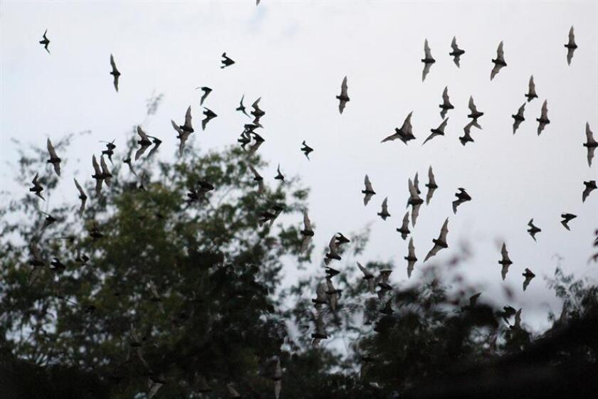 Fotografía cedida por la Secretaría de Medio Ambiente y Recursos Naturales (Semarnat) hoy, jueves 8 de diciembre de 2016, que muestra una especie de murciélago polinizador del agave. Autoridades mexicanas presentaron hoy un caso de éxito sobre la integración de la biodiversidad en el sector productivo que muestra la recuperación de un tipo de murciélago como polinizador de los agaves de los que se obtiene el tequila. EFE/Cortesía Semarnat/SOLO USO EDITORIAL