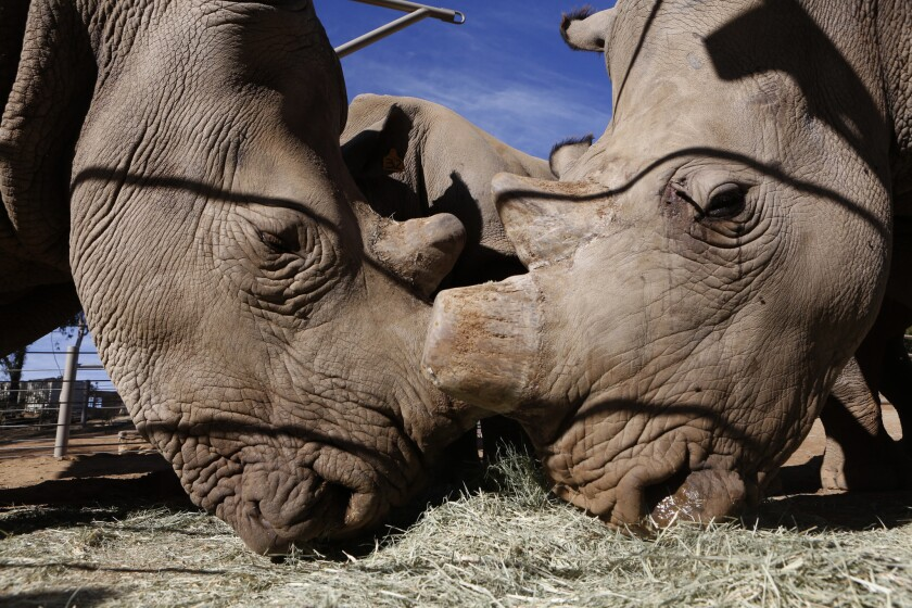 Officials hope six new rhinos at Safari Park become scientific