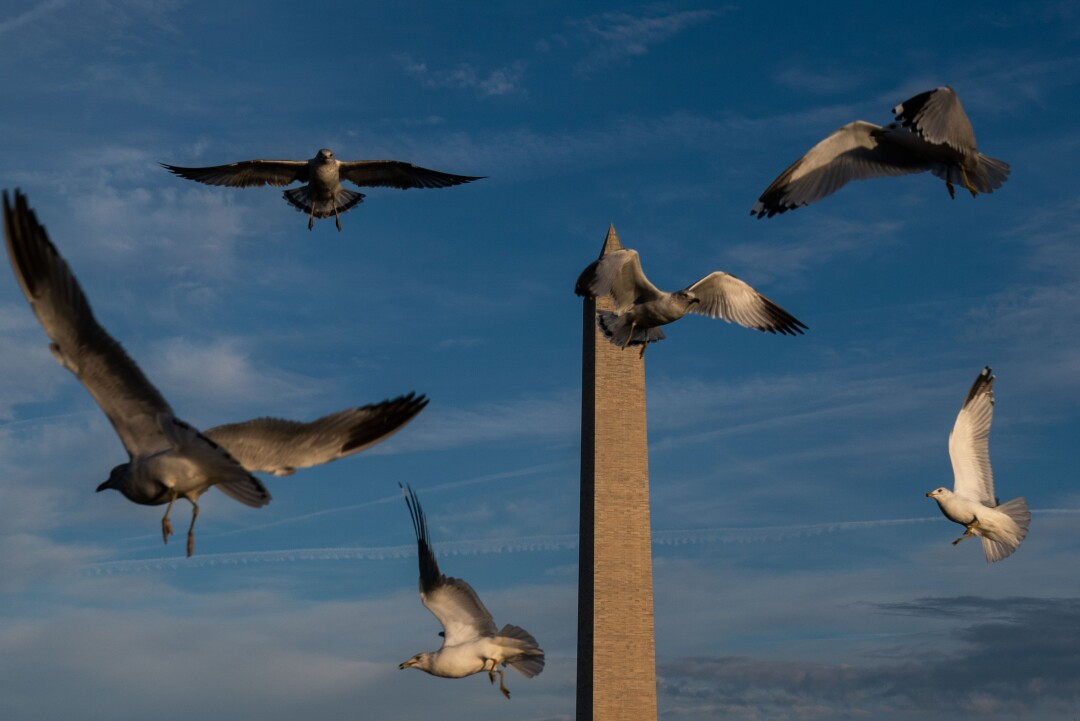 Birds in flight over Constitution Gardens Pond with the Washington Monument in the background.