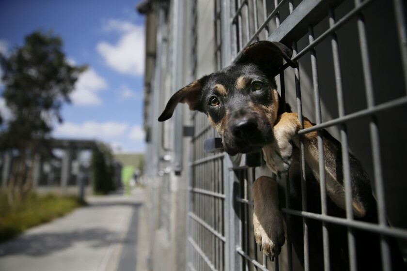 A German shepherd mix at a Los Angeles Animal Services shelter.