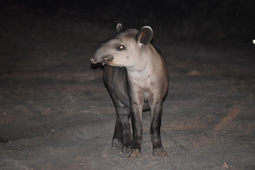Nocturnal photo of a tapir, one of many large mammals that live in the newly created Ñembi Guasu protected area.<br>