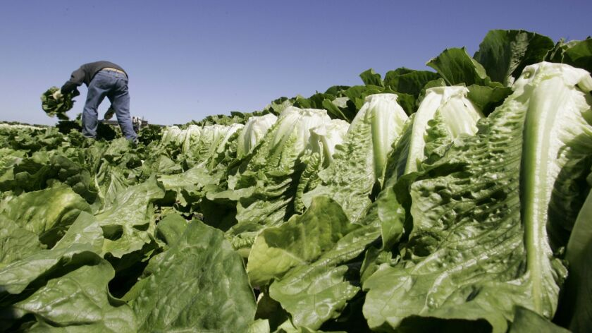 A worker harvests romaine lettuce in Salinas, Calif., Thursday, Aug. 16, 2007. Government regulators
