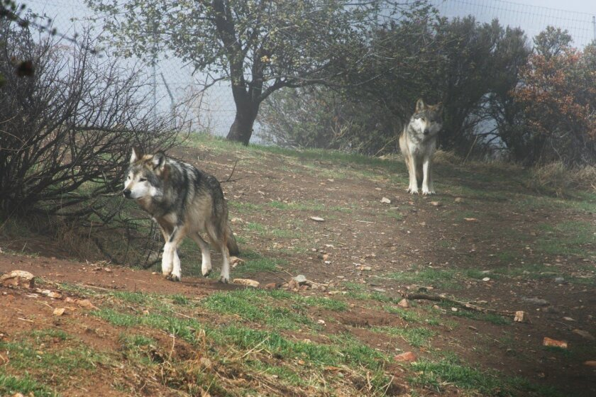 Adult Mexican Gray wolves at the California Wolf Center. / photo courtesy of California Wolf Center