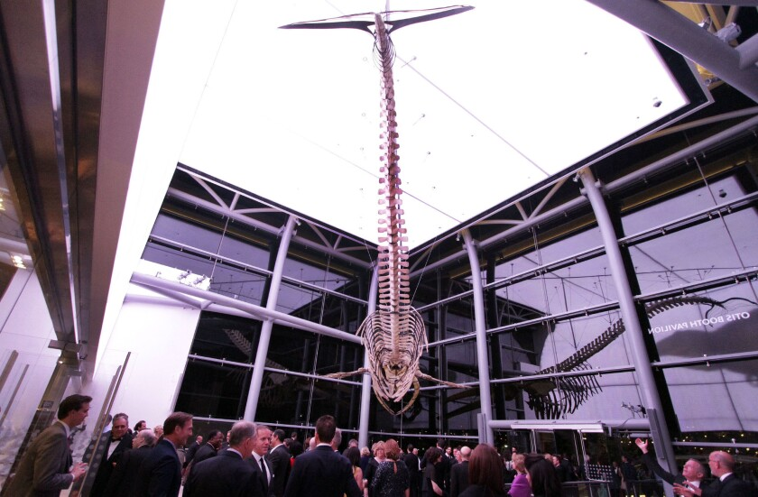A fin whale is displayed in the new Otis Booth Pavilion. Members and guests attended a dinner in the Natural History Museum in Los Angeles for the 100th-year celebration and the unveiling of the new Otis Booth Pavilion.