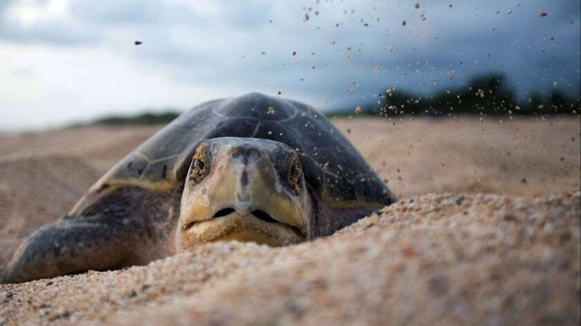 MEXICO-TURTLES-FEATURE