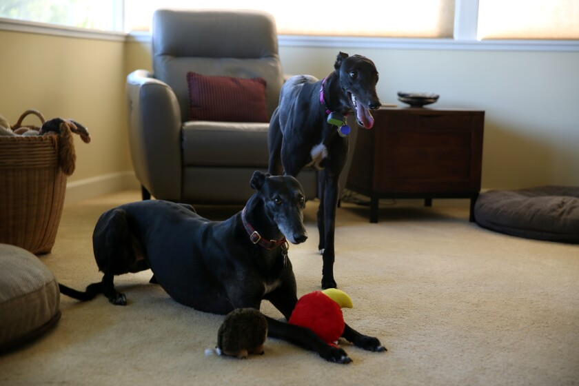 Greyhounds Heidi, left, in play position with a toy, and Vicky, standing, in Tim Lignoul's Encino home.